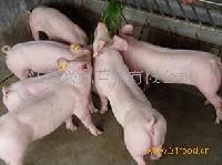 正宗三元瘦肉型苗猪