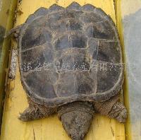 野生鳄鱼龟