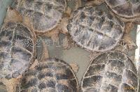 高档生态鳄鱼龟