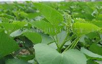 台湾番薯叶