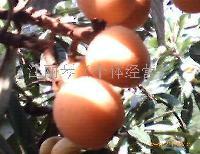 黄山棉溪枇杷