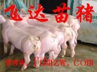 大长白苗猪