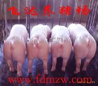 大白母猪长白母猪