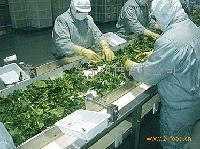 蔬菜分拣挑选输送设备
