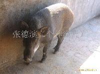 (山东)庆云特种野猪