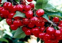 山东沂蒙大樱桃