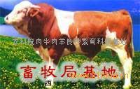 中国肉牛养殖基地,肉牛养殖前景,肉牛的养殖技术