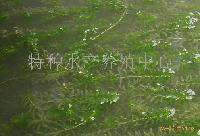 螃蟹吃的草