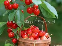 优质大樱桃