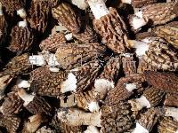 青藏高原野生羊肚菌
