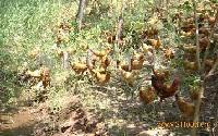 农家散养草鸡