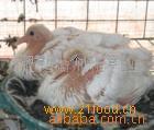 乳鸽-新鲜鸽蛋-种鸽