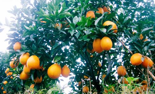 橙子树生长习性