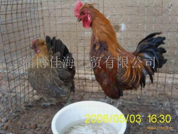 麻雀鸡.JPG