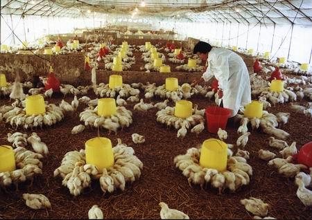乐家养鸡场 高清图片